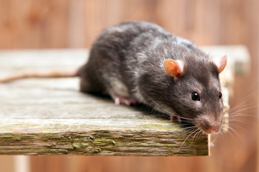 Fotolia nuotr./Žiurkė.