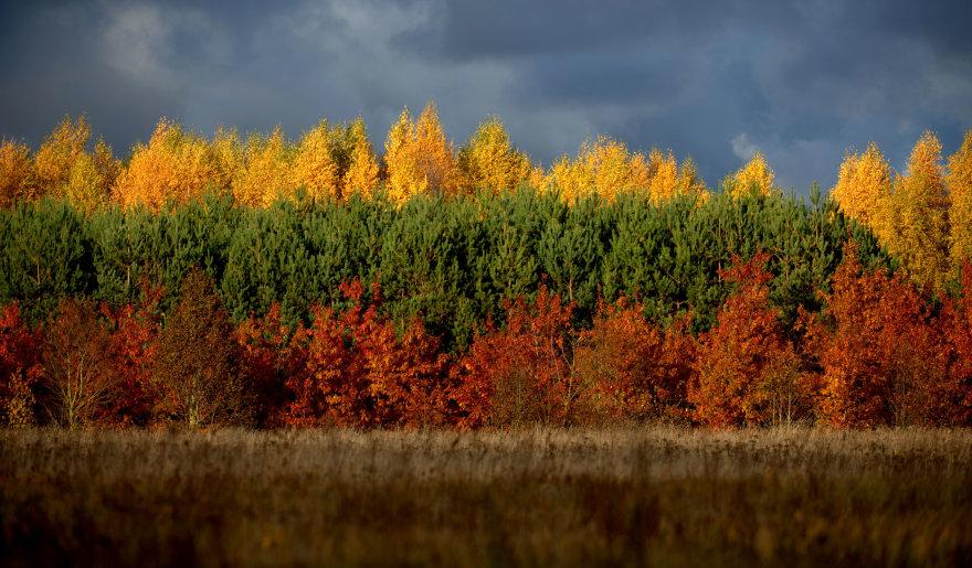 Ruduo Lietuvoje: trispalve nusidažę medžiai Šilutės rajone