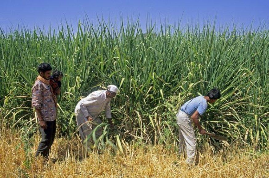 Indijoje šią vasarą lyja mažiau nei įprastai. Tai gali pakenkti cukranendrių derliui.