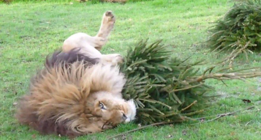 Lintono zoologijos sodo liūtas džiaugiasi Kalėdų egle