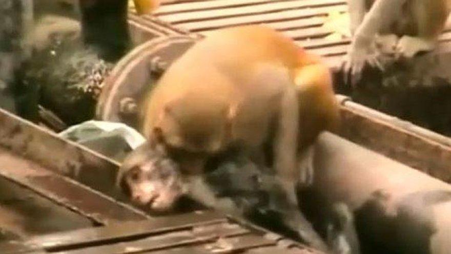 Beždžionė gelbsti draugą