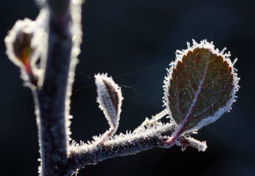 Pageltusią gamtą nelaisvėn ima rytinis šaltukas