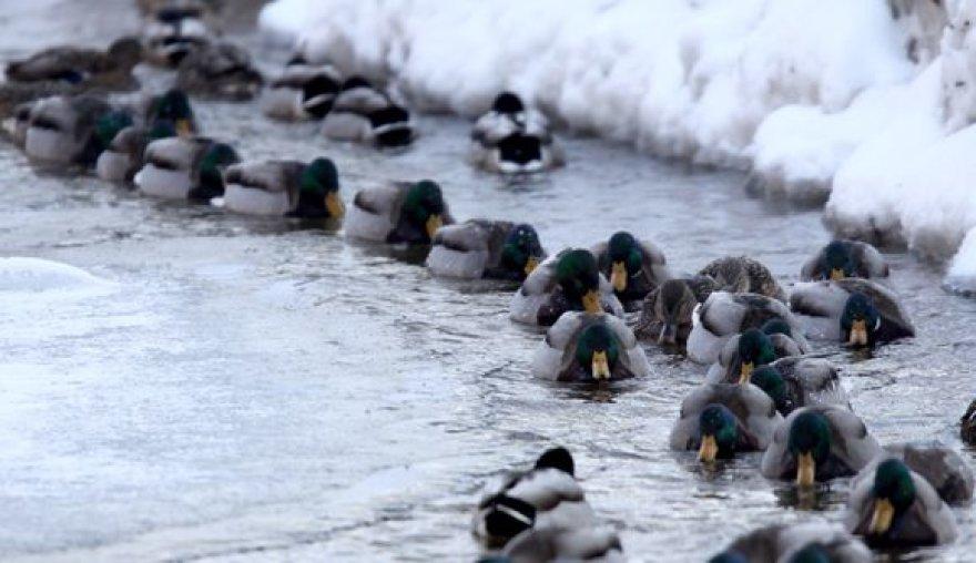 Žiemos šaltį išgyvenančios antys džiaugiasi neužšąlančiu vandens telkiniu.
