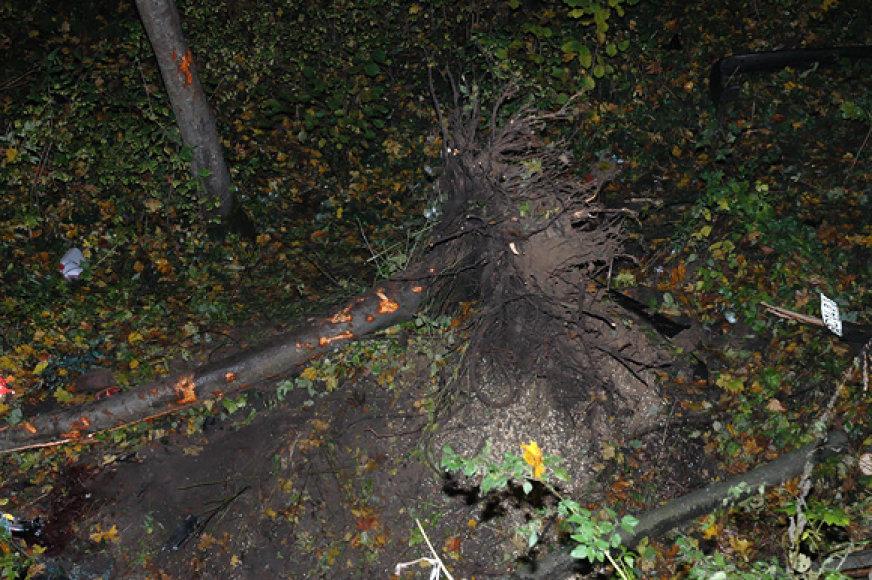 Su šaknimis išrautas medis