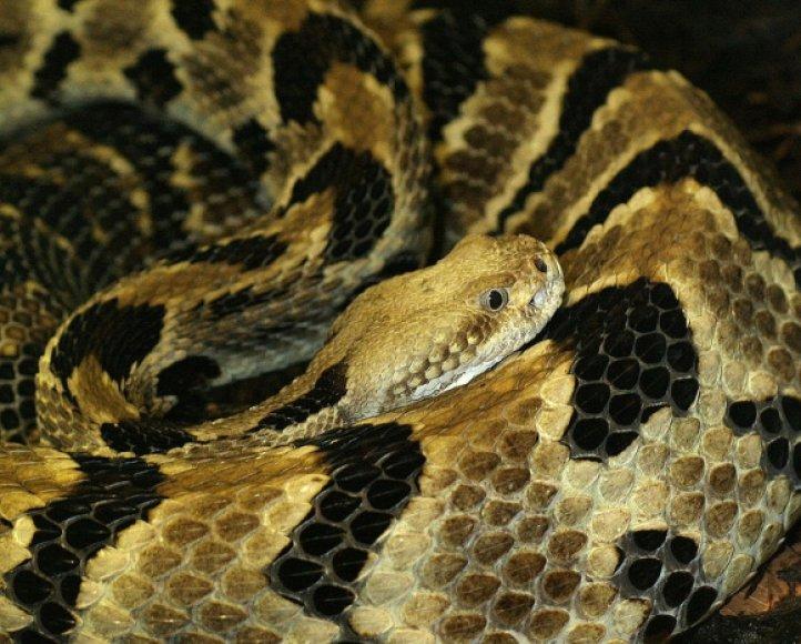 Gyvatė barškuolė
