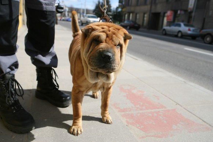 (JPG) Su veterinarų pagalba išsprendžiamų problemų su akimis turinti šarpėjų veislės kalytė ieško naujo šeimininko.
