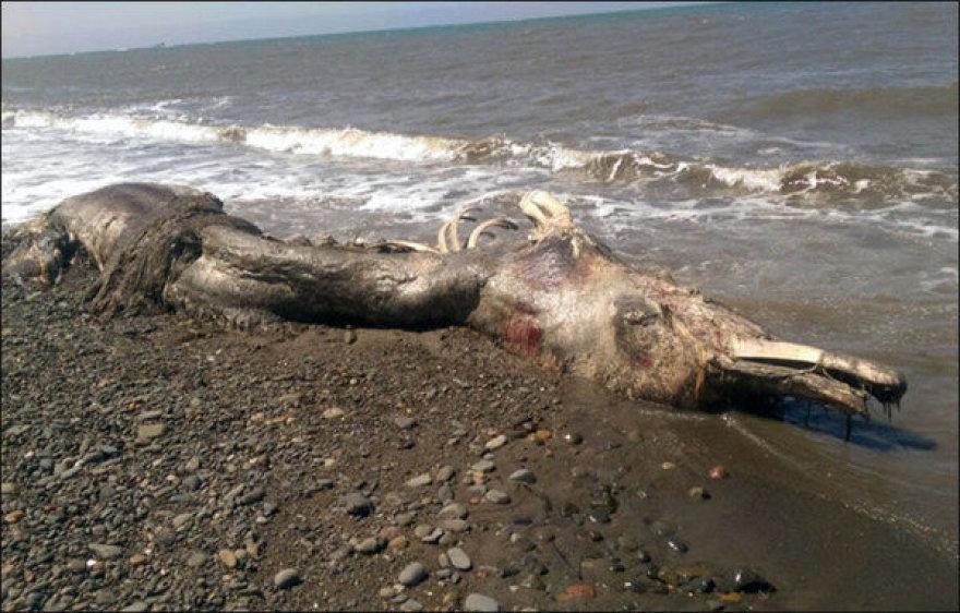 Jūrų pabaisos kūnas Sachaline