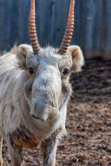 Saigos antilopė