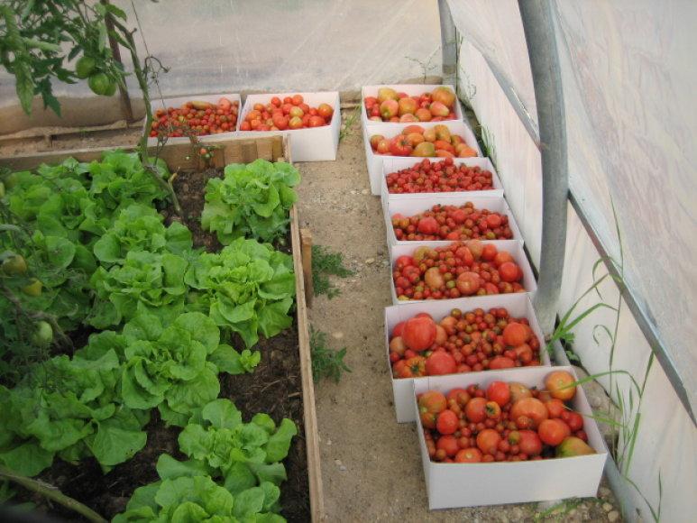 Ilzenbergo ūkio pomidorai