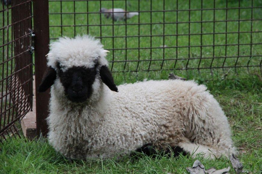 Lietuvos zoologijos sode apsigyveno juodanosė avis iš Šveicarijos