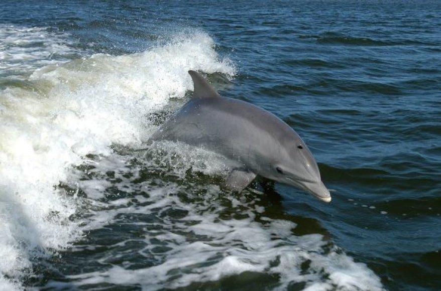 Delfinas laisvėje