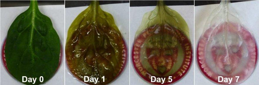 Špinato lapo transformacijai į širdies auginimui tinkamą audinį