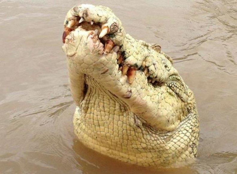 Krokodilas, pramintas Maiklu Džeksonu