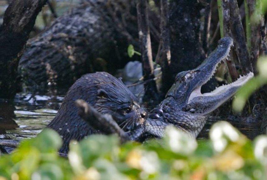 Ūdros kova su aligatoriumis