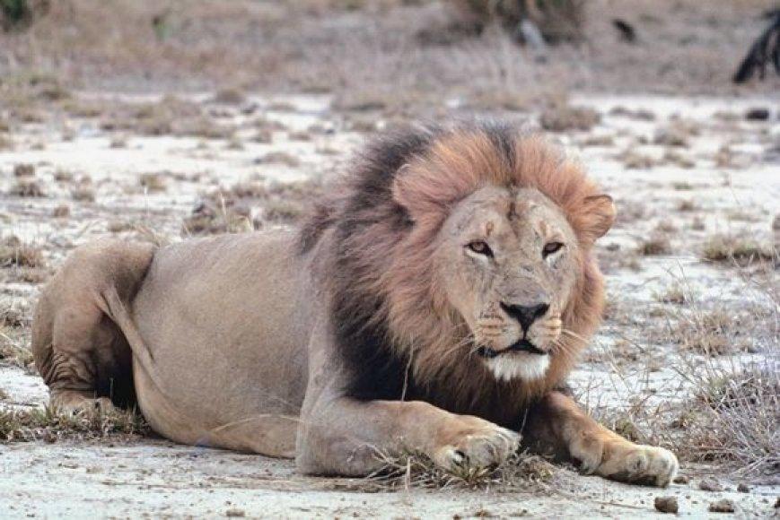Liūtas jau tapo bendrovės LEO LT simboliu.