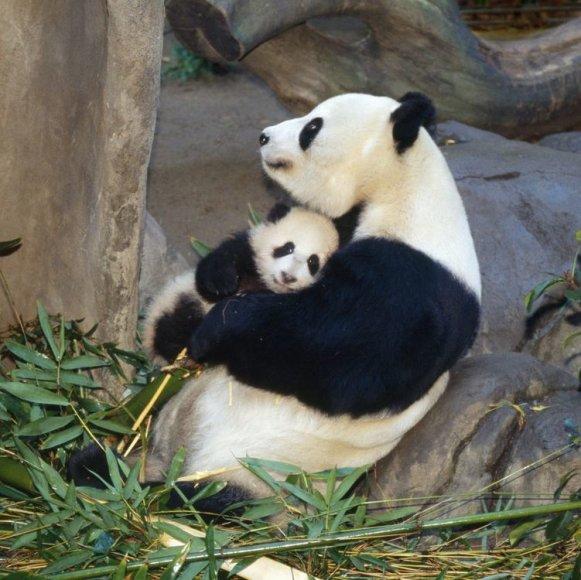 Panda su jaunikliu