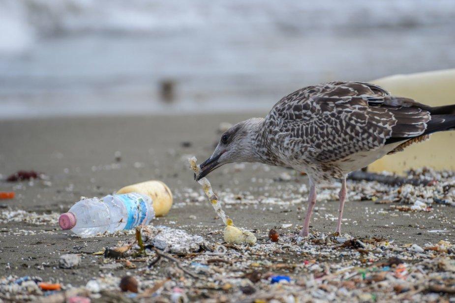123RF.com nuotr./Kirai, žuvėdros neretai prisilesa plastiko. Tačiau ančių snapai yra labai jautrūs, todėl mokslininkai stebisi, kaip jos plastiko neatpažįsta