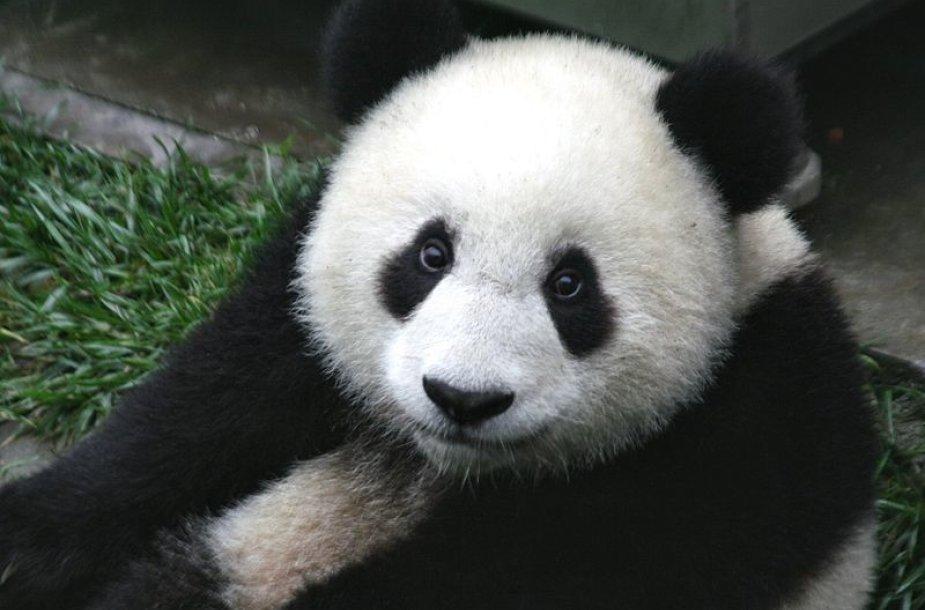 Didžiosios pandos jauniklis