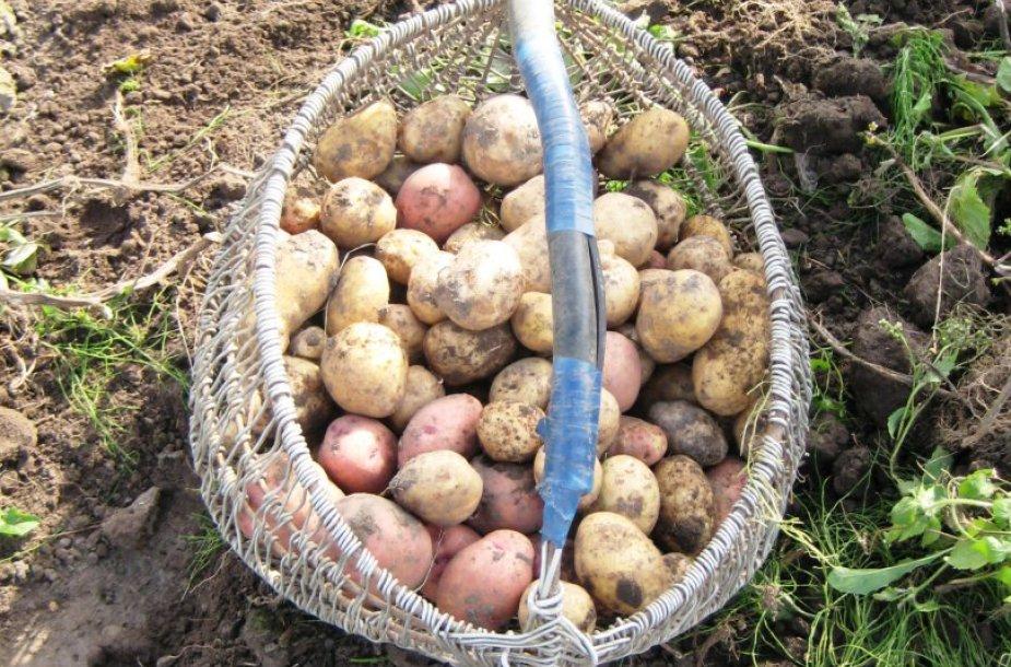 Bulvių kilogramas Klaipėdos turgavietėse kainuoja 25-35 centus. Augintojai tikina, kad kainą lėmė prastas darlius.
