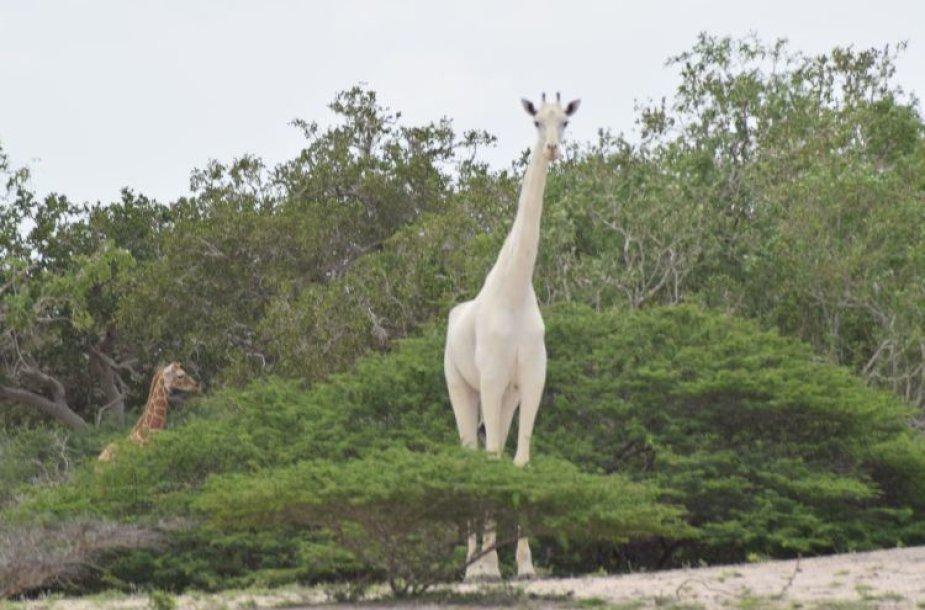 Baltosios žirafos