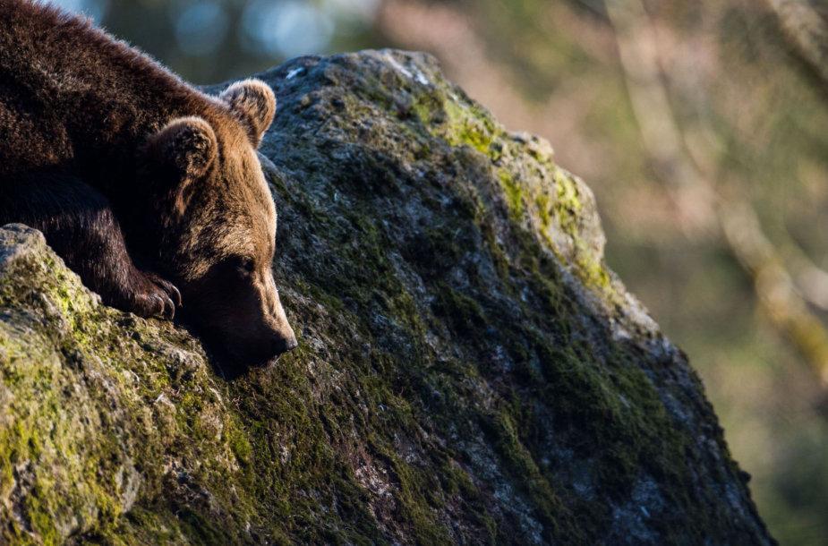 Meška Bavarijos miškų nacionaliniame parke Vokietijoje