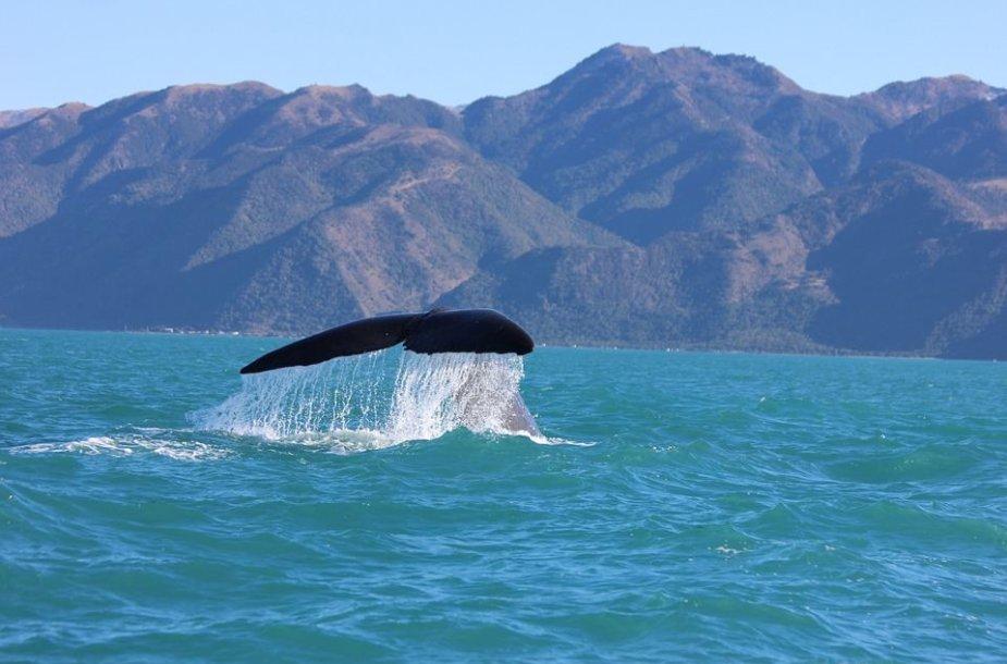 Banginiai Naujojoje Zelandijoje