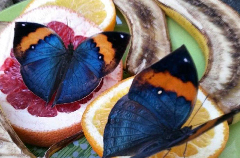 Kallima inachus – Indijos ąžuolo lapų drugiai