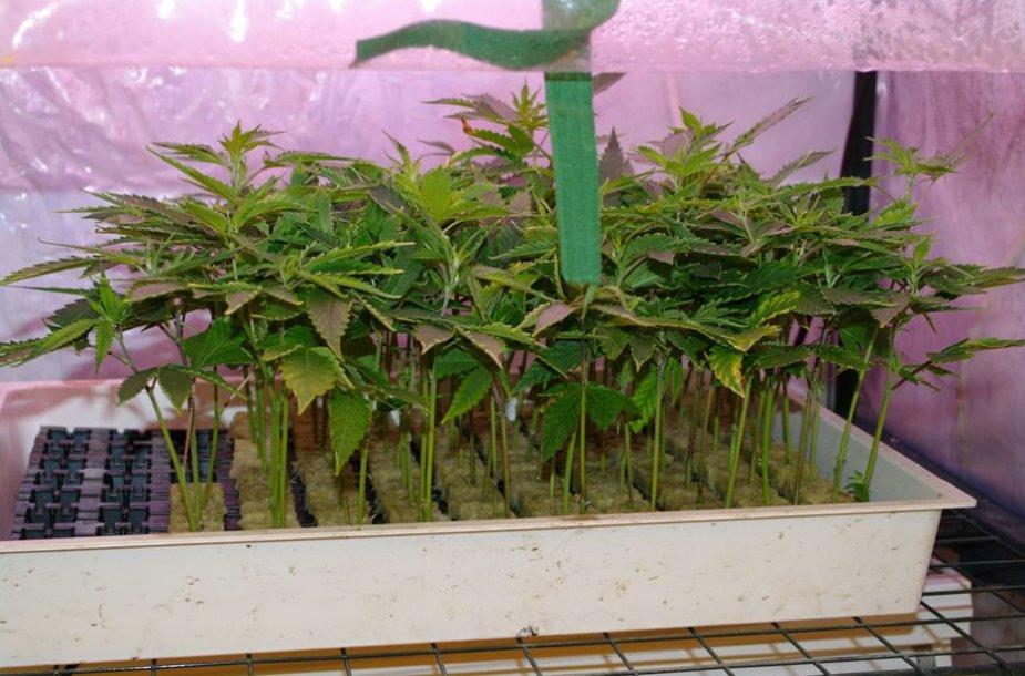 Mastaičuose demaskuoti kanapių augintojai