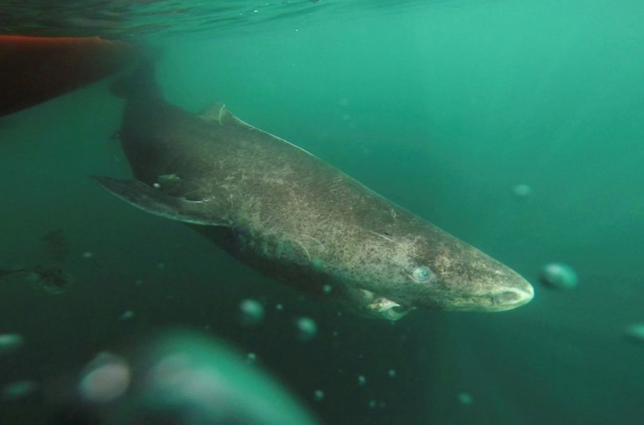 Arktinis ryklys