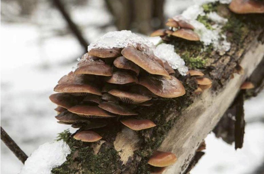 Šaltojo sezono grybai