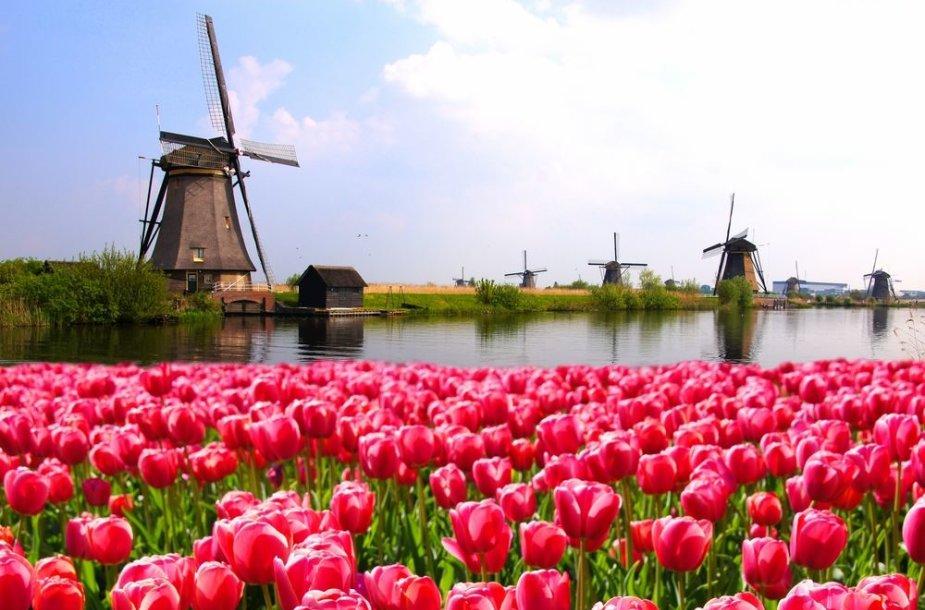 Nyderlanduose šiuo metu prasideda tulpių žydėjimo šventės