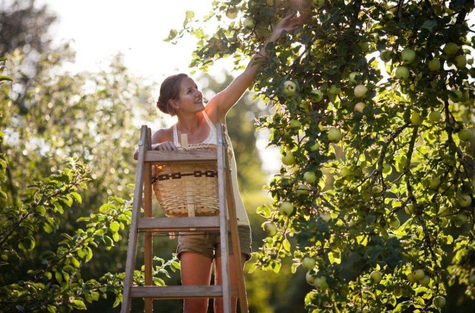 Renkant obuolius