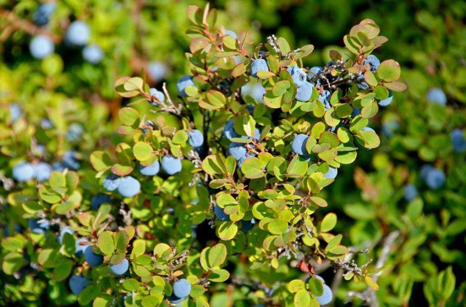 Mėlynės lapai padeda sergant artritu