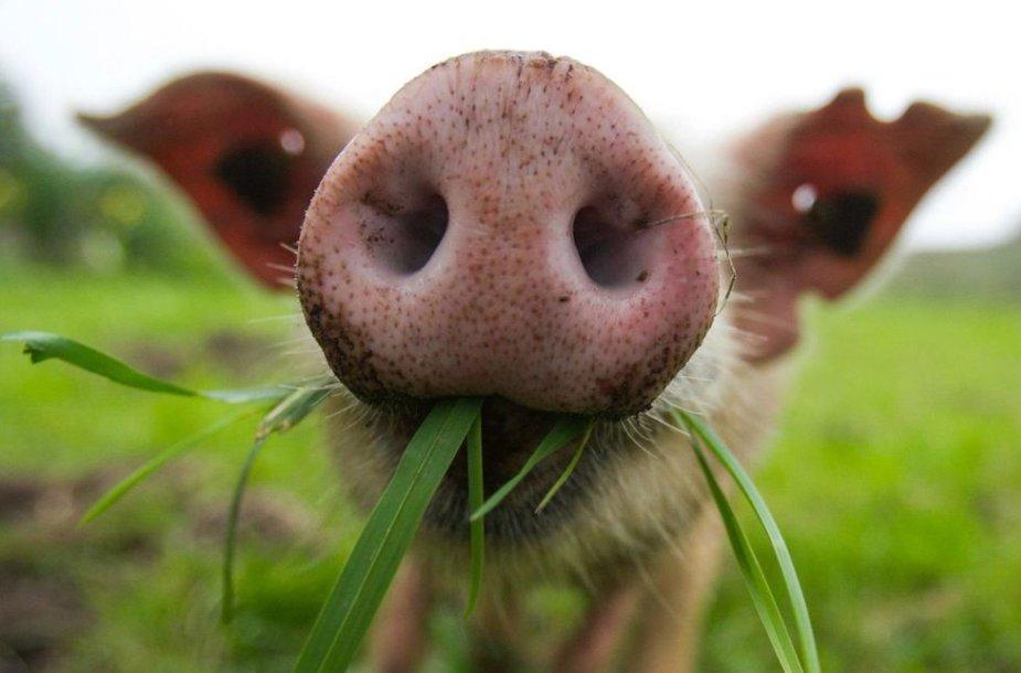 Paršelis kramto žolę.