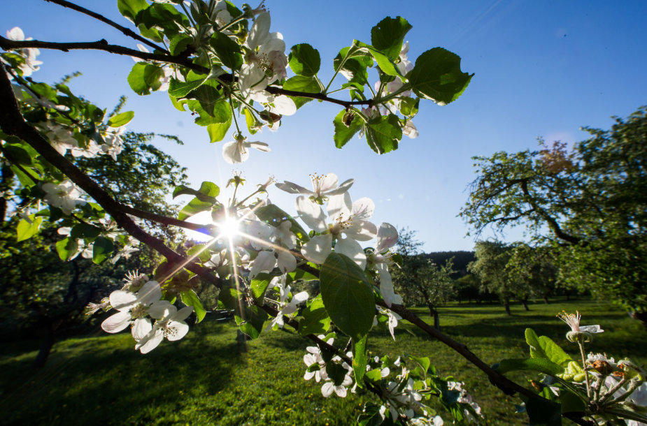 Žydintis Pūčkorių sodas