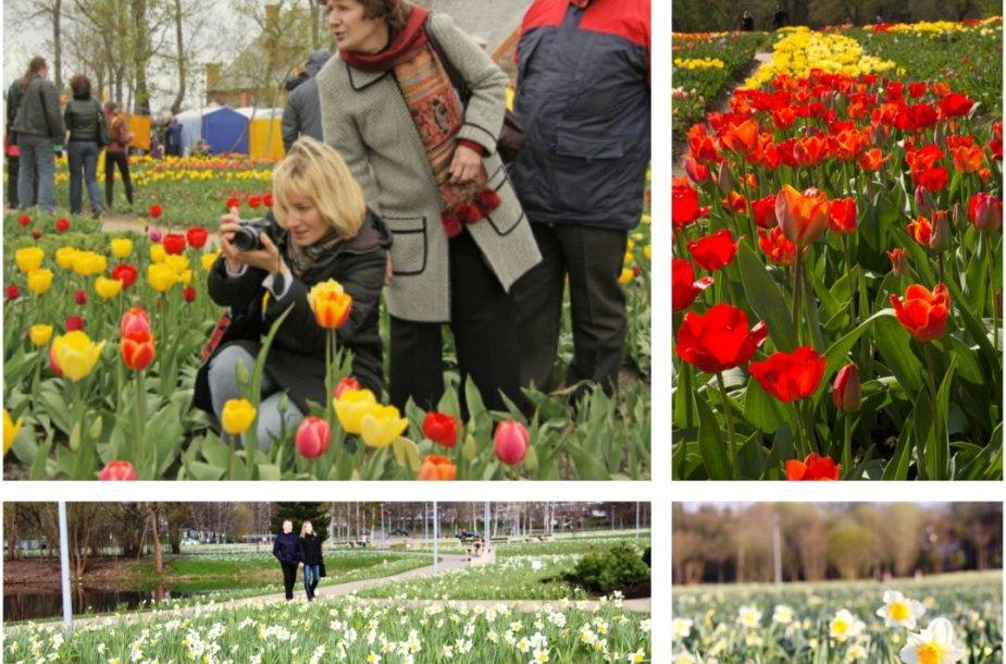 Narcizų ir tulpių žydėjimo šventės Lietuvoje