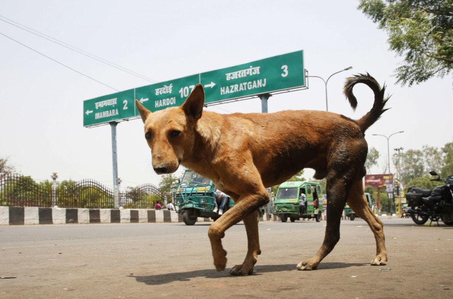 Indijoje sulaukėjusių šunų gaujos sudraskė šešis vaikus