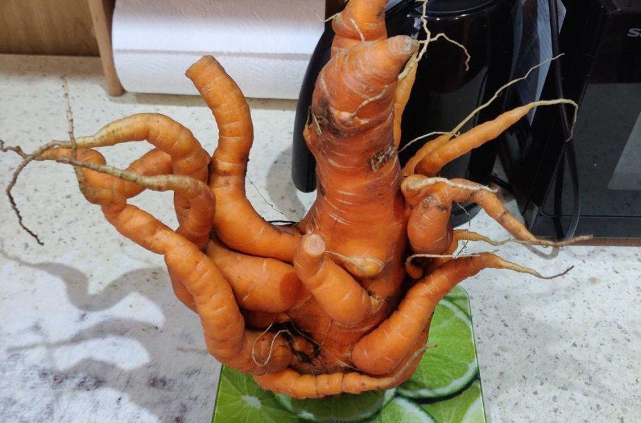 Skaitytojo Mindaugo darže užaugusi morka