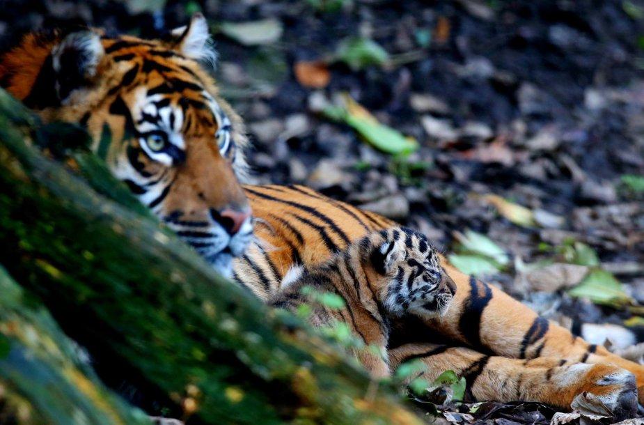 Sumatros tigrė Kirana su jaunikliu