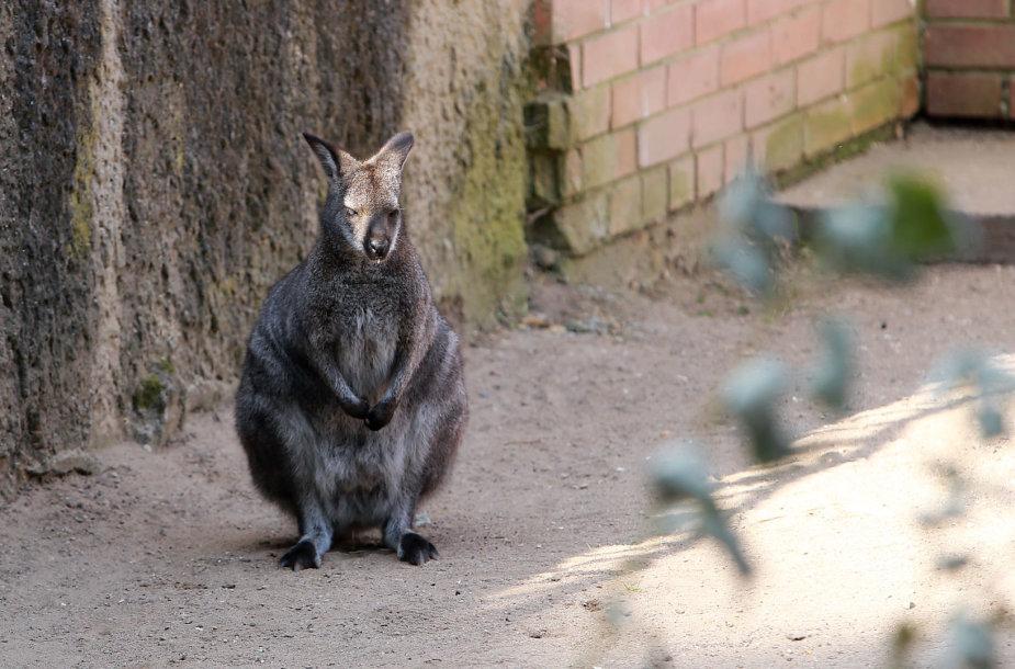 Pilkarusvė kengūra