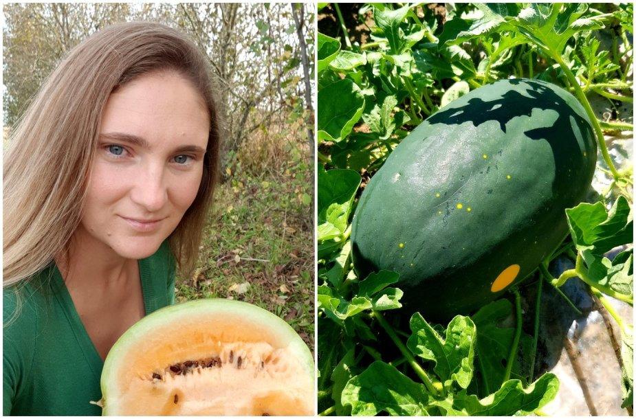 Lina Narvydienė dalinasi arbūzų auginimo paslaptimis
