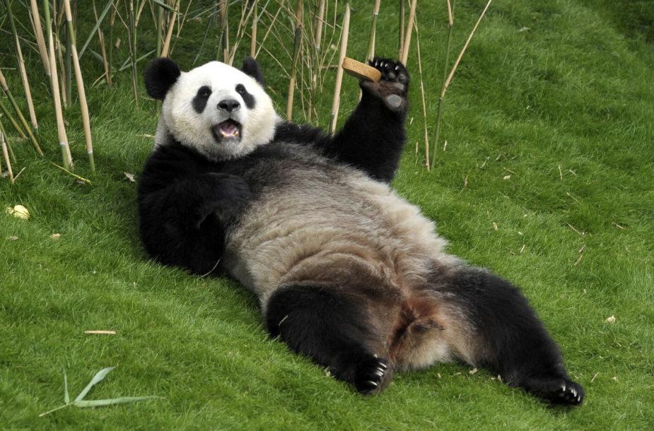 """Kinija Vakaruose vykdo ir """"pandų diplomatiją"""""""