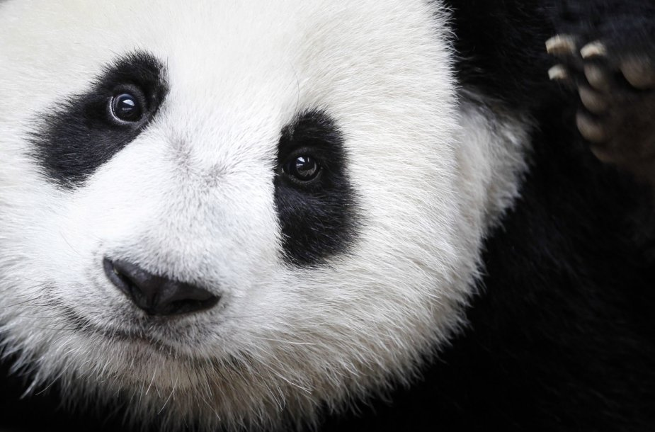 Didžioji panda Nuan Nuan