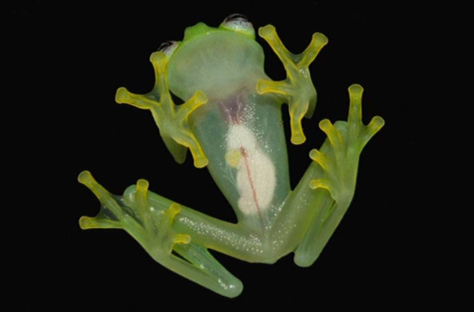 Jaku stiklavarlė (Hyalinobatrachium yaku)