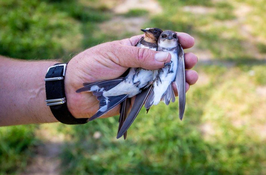 Ventės rage – paukščių žiedavimo įkarštis