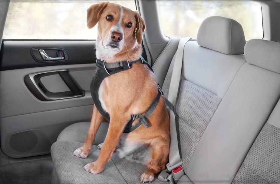 Automobilio salone pritvirtintas šuo