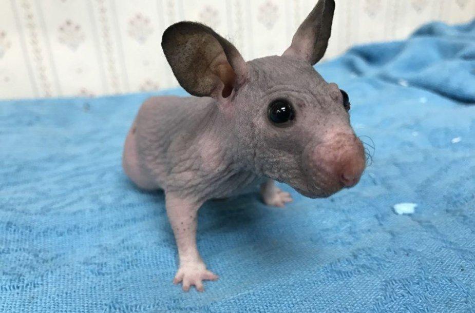 Žiurkėnė Silky