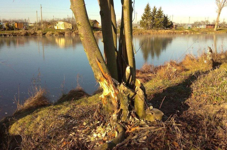 Vieną dieną bebrai taip pasidarbavo, kad griuvo daugybė šalia Koliupės tvenkinio esančių medžių