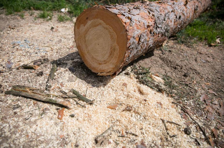 Medžių kirtimas Vilniaus Kirtimų tabore