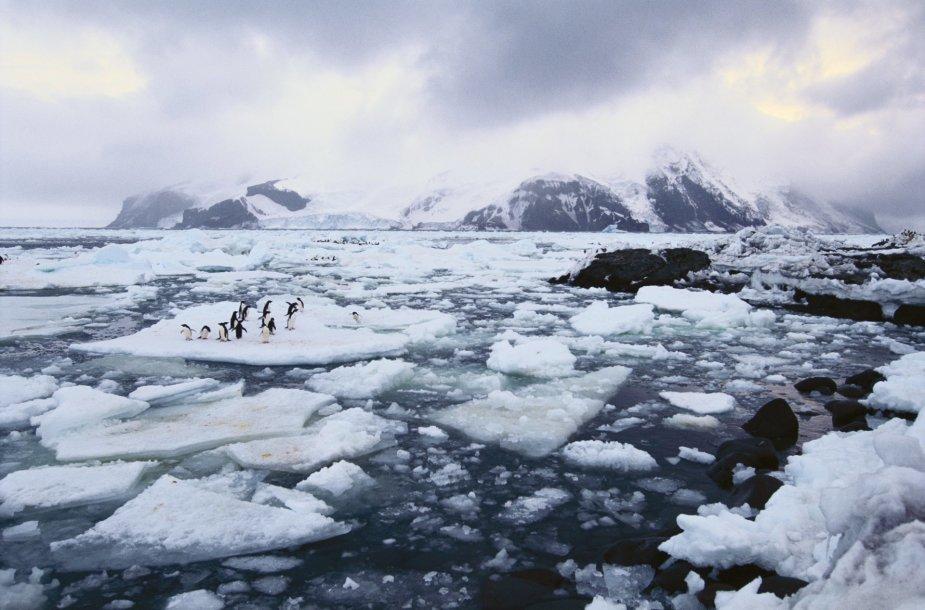 Adelės pingvinai